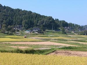 事務所周辺の田んぼも稲刈り